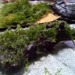ウィローモスを流木に活着させる方法