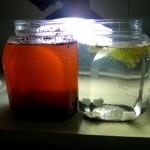 ミジンコの繁殖実験、約一週間後。